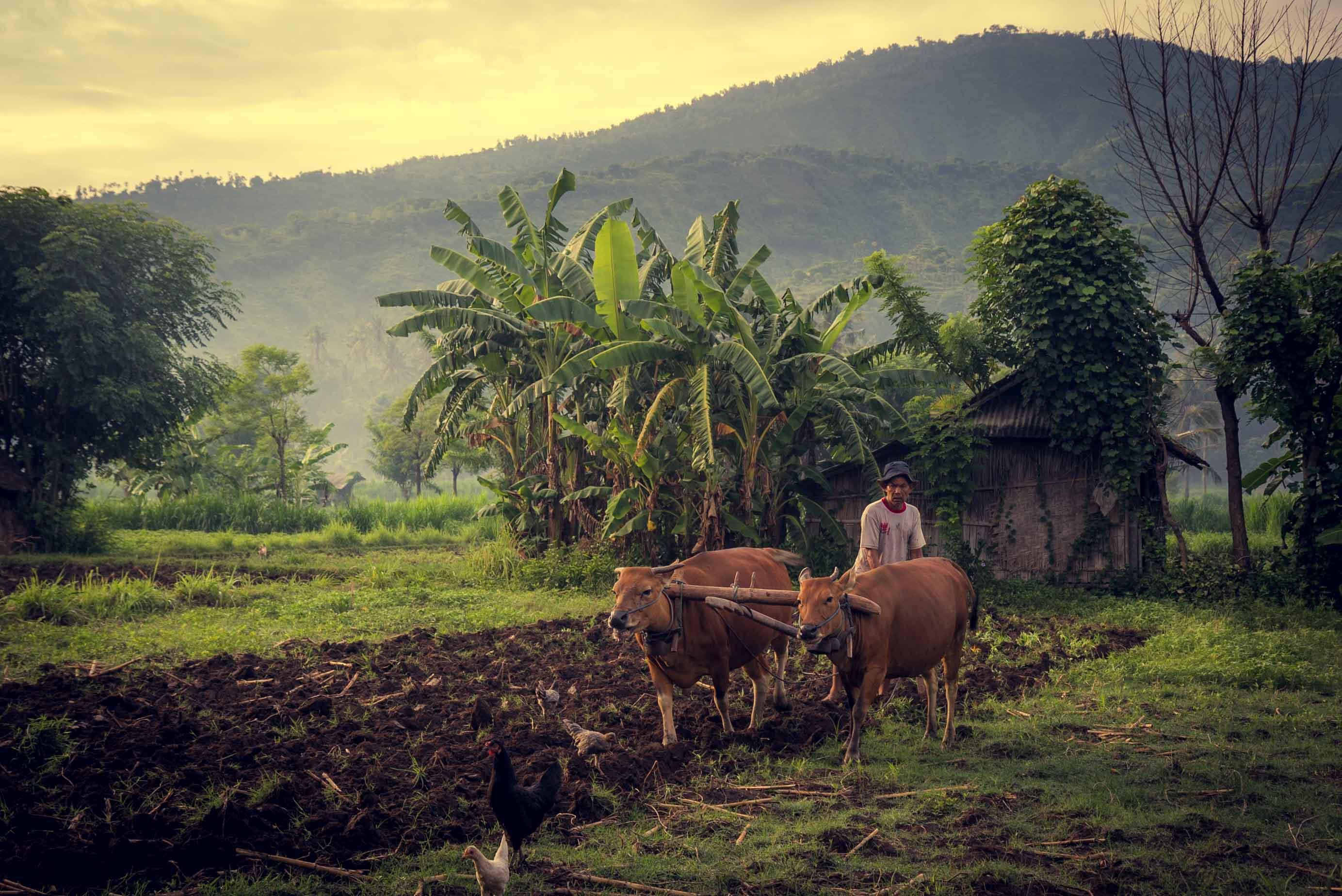 Bali, Amed, rice terrace, montagne, jungle, rizière, culture, Indonésie, Indonesia, vache, cow