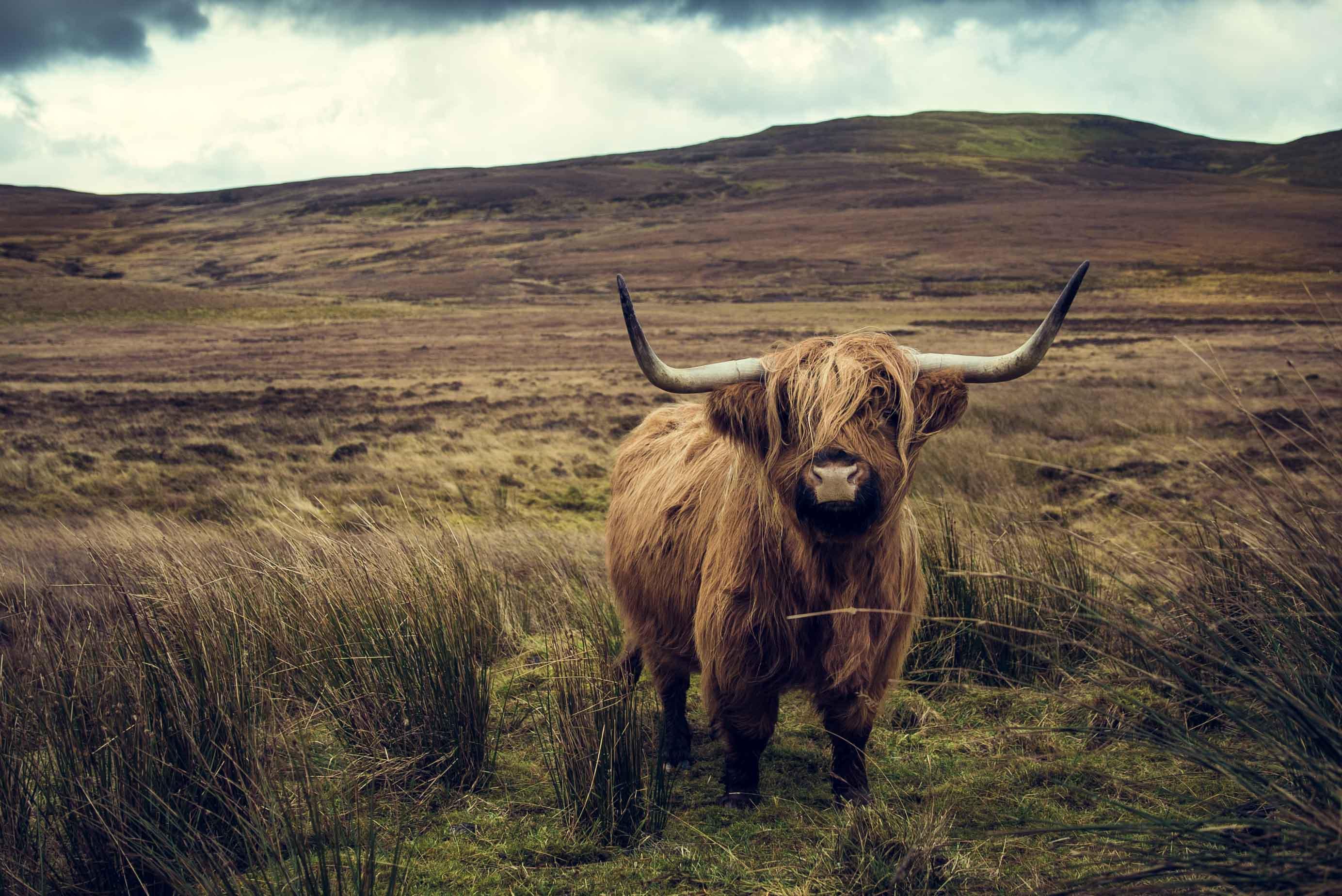 Écosse Ile de Skye montagne mer loch ness nessie taureau Scotland Inverness bull