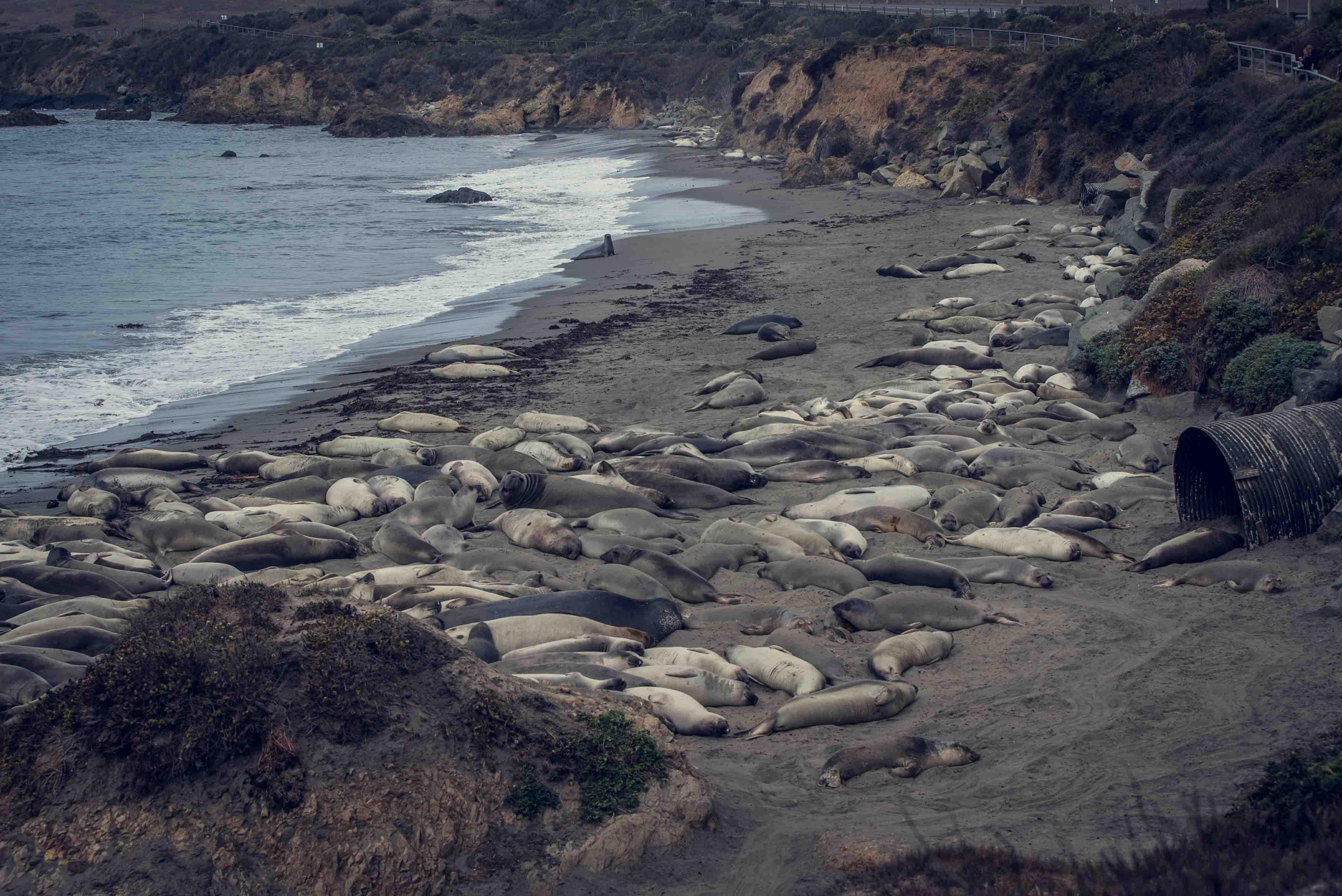 Éléphants de mer Piedras blancas Californie hollywood Death valley vallée de la mort Las Vegas Los Angeles San Francisco blog carnet de voyage