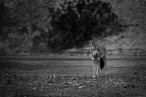 Death désert montagne loup valley vallée de la mort coyote animal Las Vegas Los Angeles San Francisco blog carnet de voyage